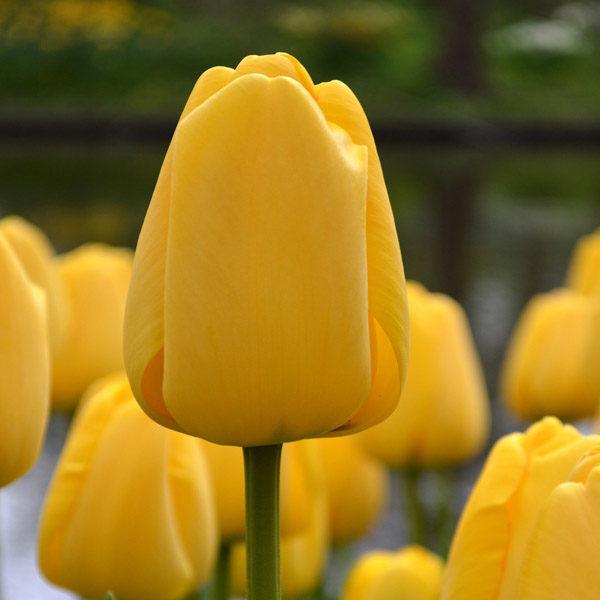 Bulbi di tulipano giallo all'ingrosso
