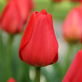 Bulbi di tulipano rosso all'ingrosso