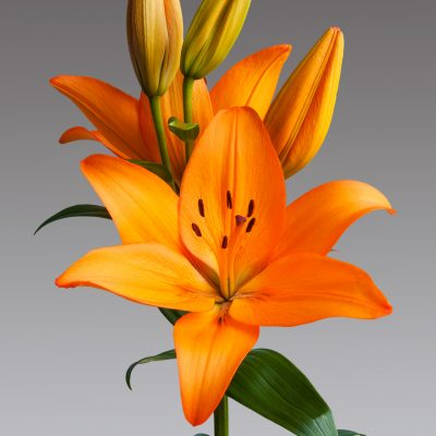 Acquista bulbi lilium talisker