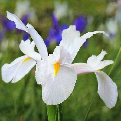 Iris Bianco - Bulbi