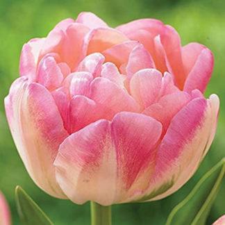 Upstar Tulip