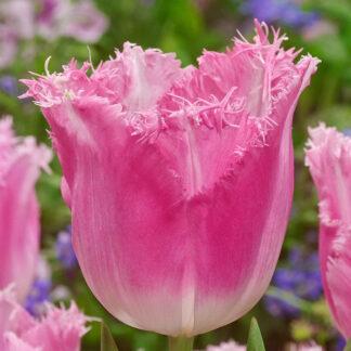 Tulipano rosa sfrangiato