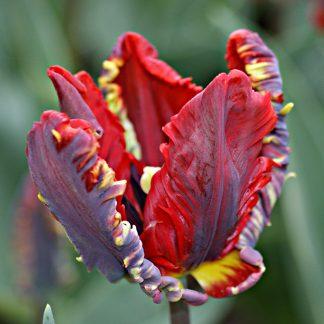 tulipano rococo