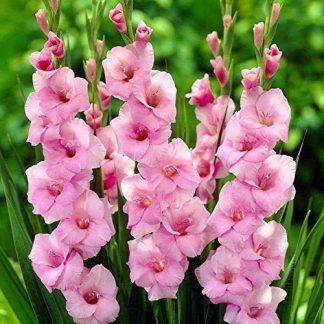 Bulbi di gladiolo rosa online