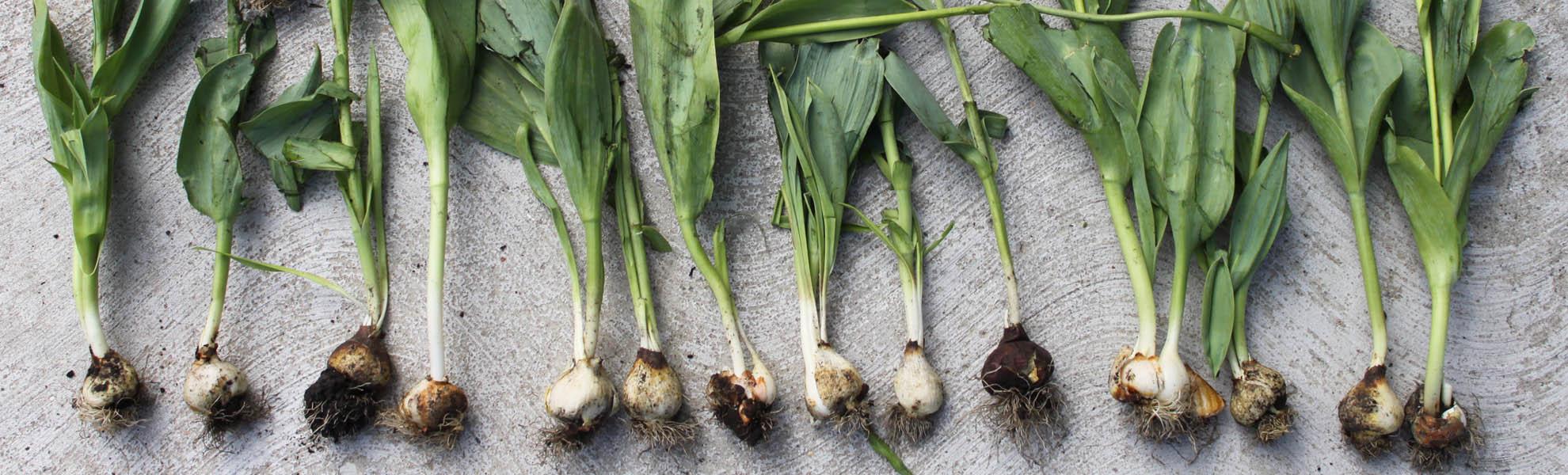 Piantare I Bulbi Di Tulipani come conservare i bulbi - tulipark roma