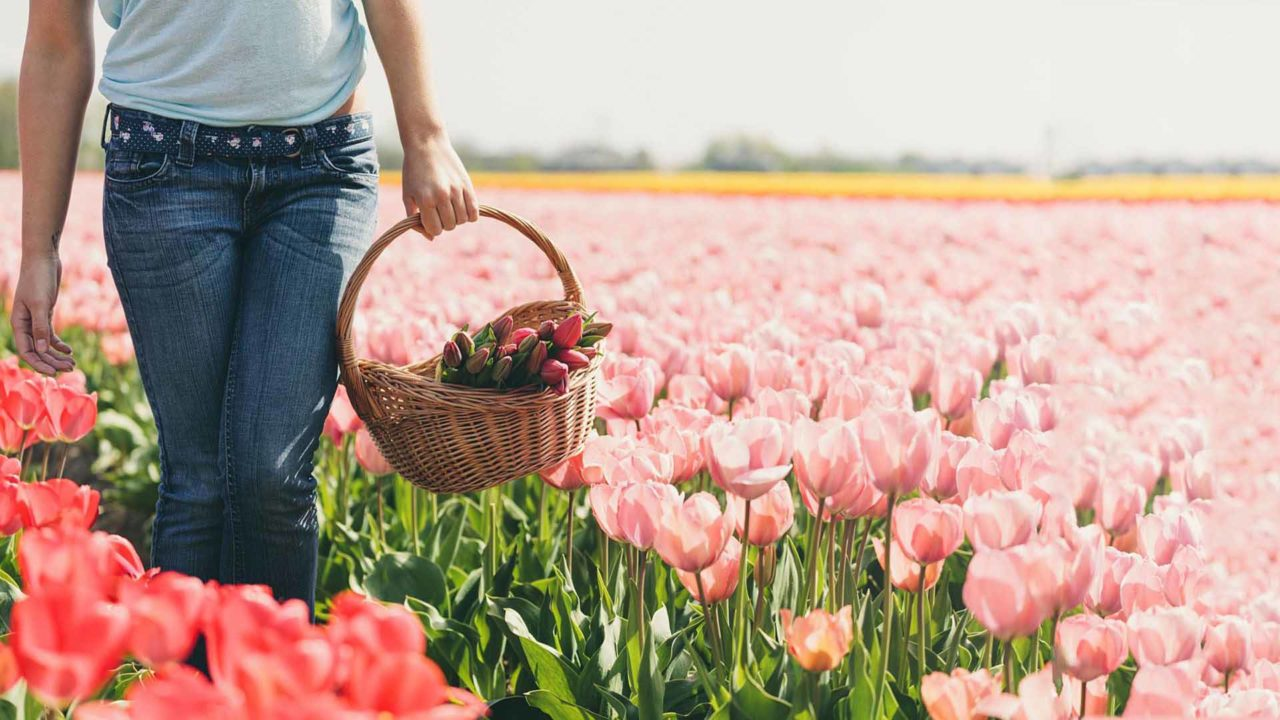Permalink to: Migliaia di Tulipani da raccogliere