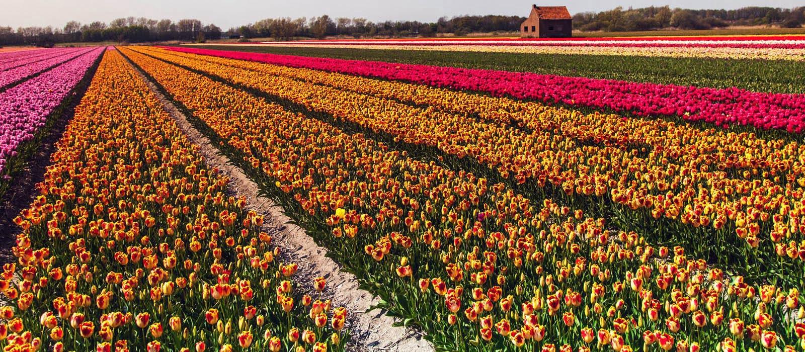 Permalink to: 380.000 tulipani ti aspettano