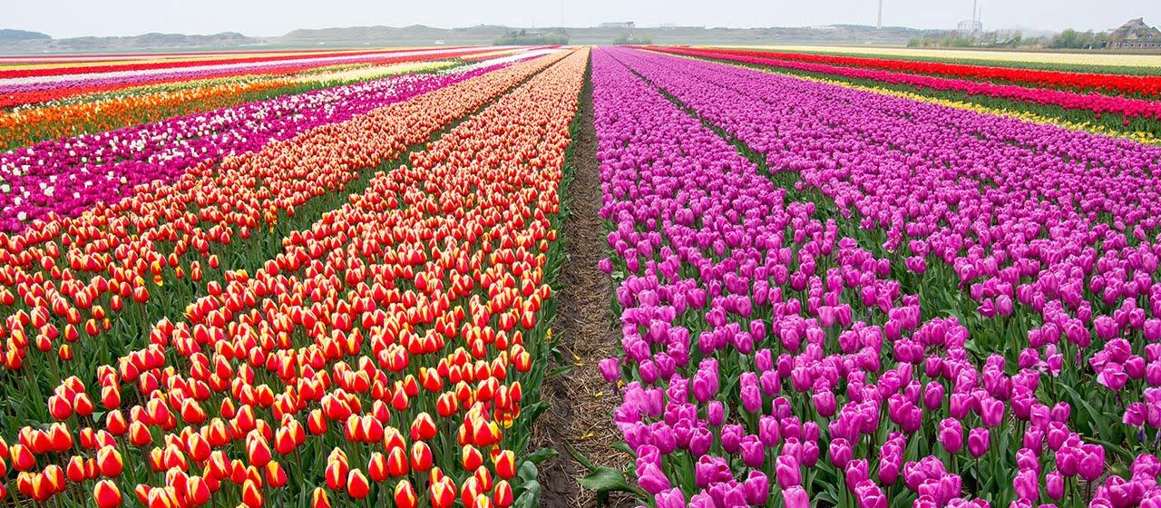 Permalink to: Migliaia di tulipani ti aspettano